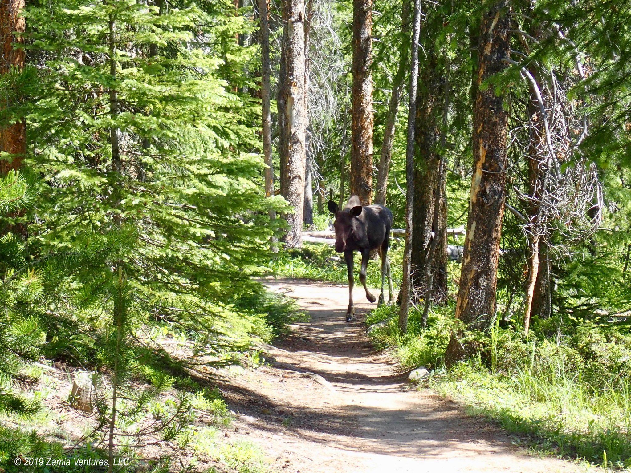 Goose, Geese, Moose, Meese: Grand Lake, CO
